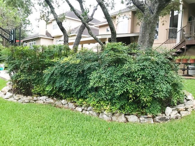 Invasive nandina in Texas landscaping